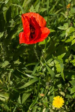 Wild Flowers-514