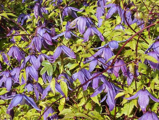 Clematis flowering.JPG