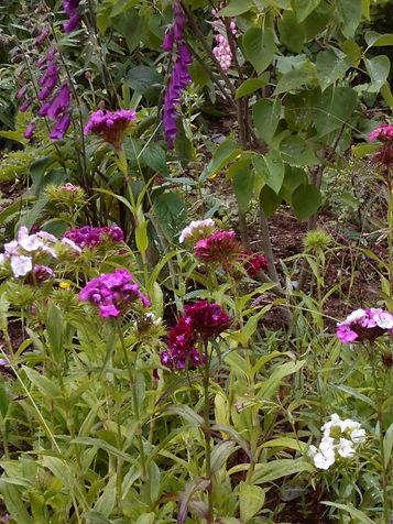 Sweet Williams & Foxgloves in the garden