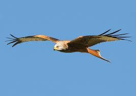 Red Kite.jpg