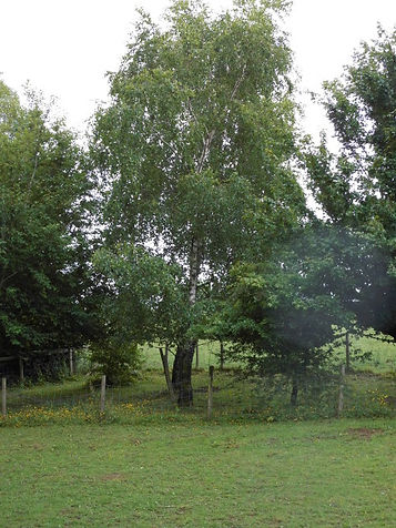 Silver birch on the edge of the camping