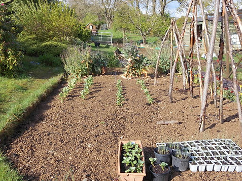 Broad Beans planted.JPG