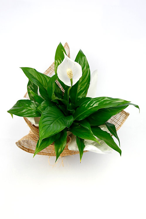 Peace Lily, prices from...