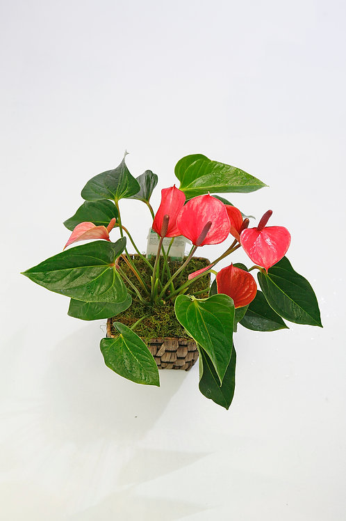 Anthurium Plant, prices from...