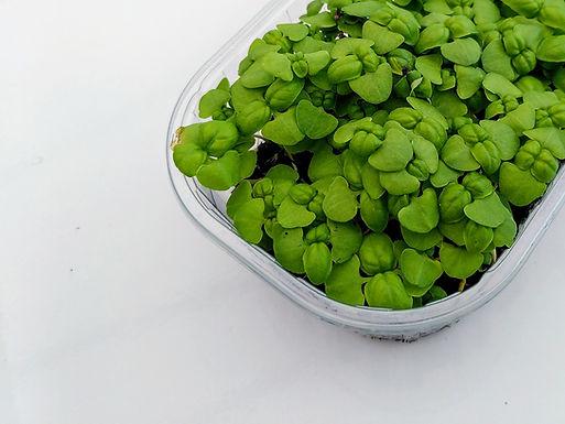 Graines de basilic vert bio