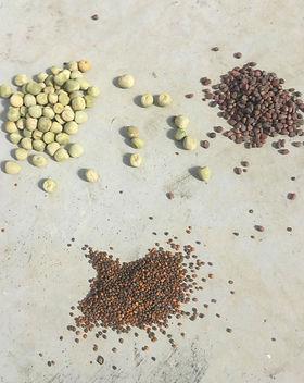 Images de nos Graine pour micro pousse microgreen