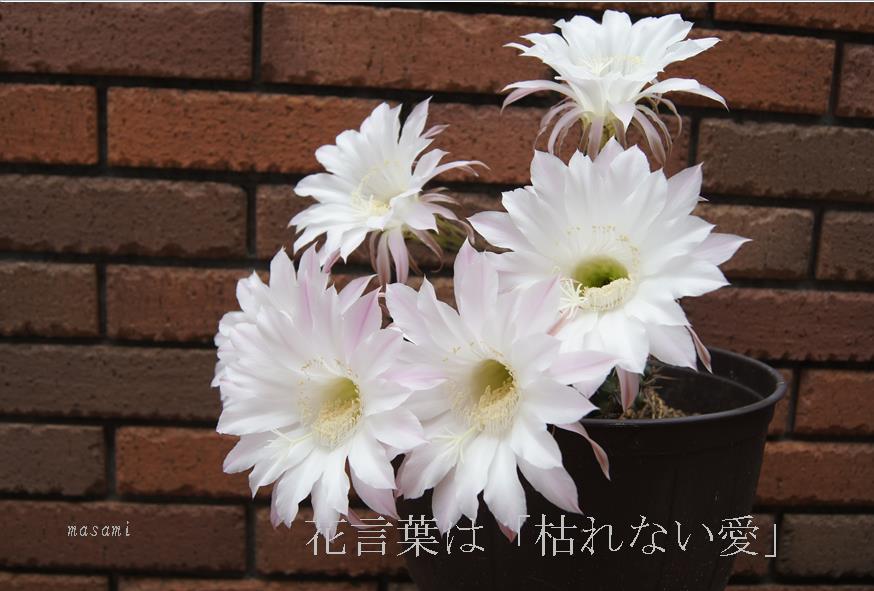 横7花言葉は「枯れない愛」.jpg