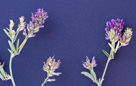 lucerne flowers