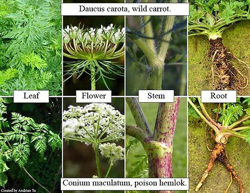 The difference between hemlock and carrot weed