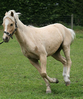 sacroiliac issues in horses