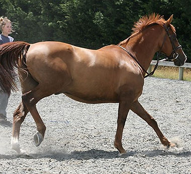 Horse with 'sacroiliac' issues