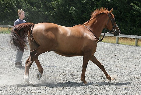 typical canter of horse with SIJ issues