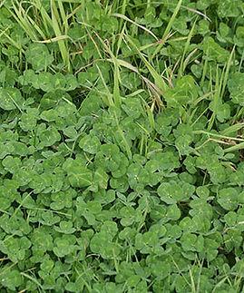 nitrogen and clover