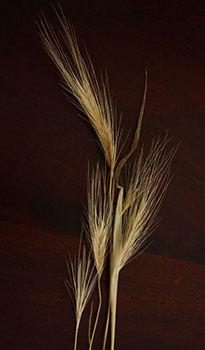 Dangerous barley grass seed heads