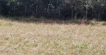 field of mature paspallum