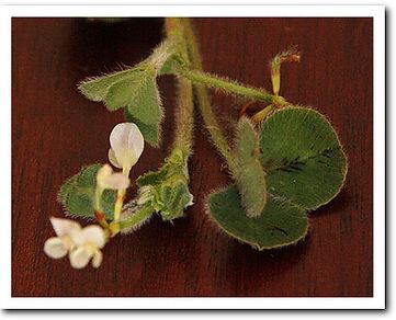 subterranean clover flowers