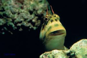 Blenny 1.jpeg