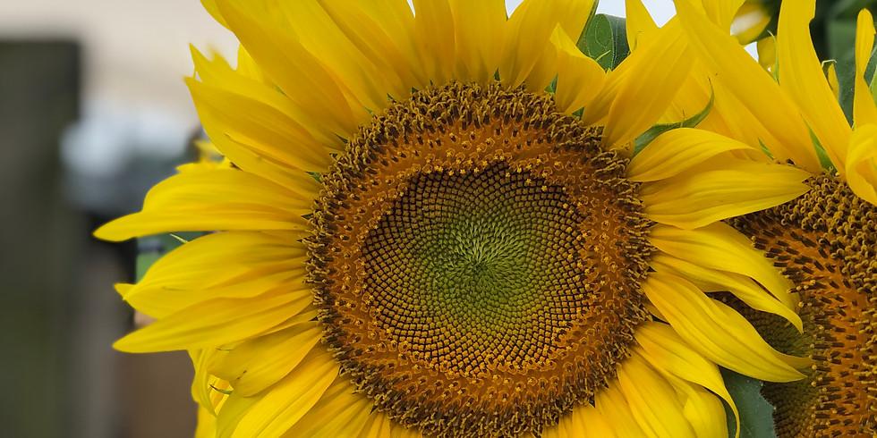 Sunflowers of Lisbon Festival Days                            Sunday, September 20