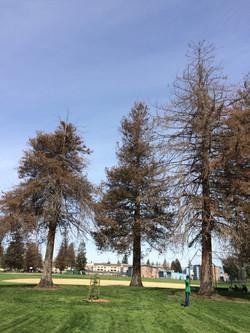Dying Redwood Tree
