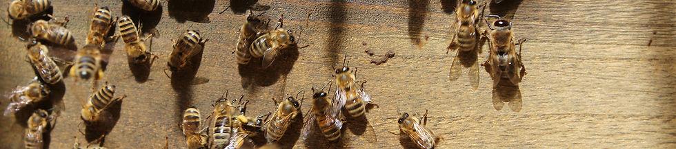 Bienenstock-Gold-Friede-Header.jpg