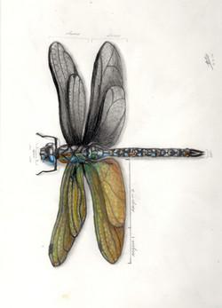 Michael Bope Dragon Fly.jpeg
