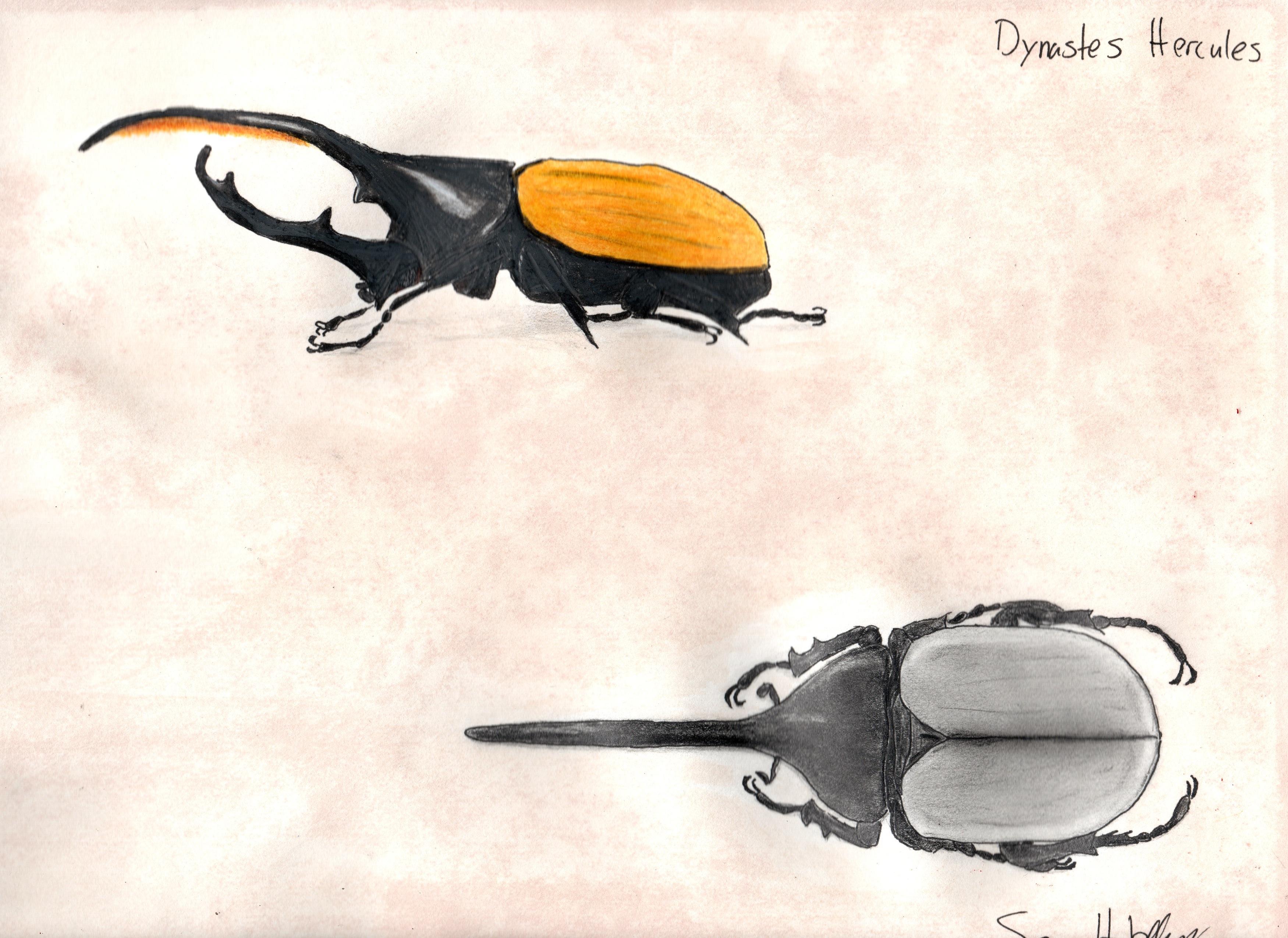 Sean Hobday Hercules Beetle.jpeg