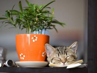 Plante/flori de apartament otrăvitoare pentru pisica ta