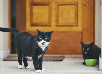 A doua pisică în casă
