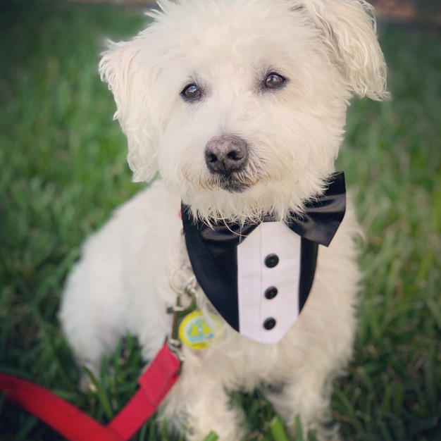 Wedding Tux Bow Bandanas