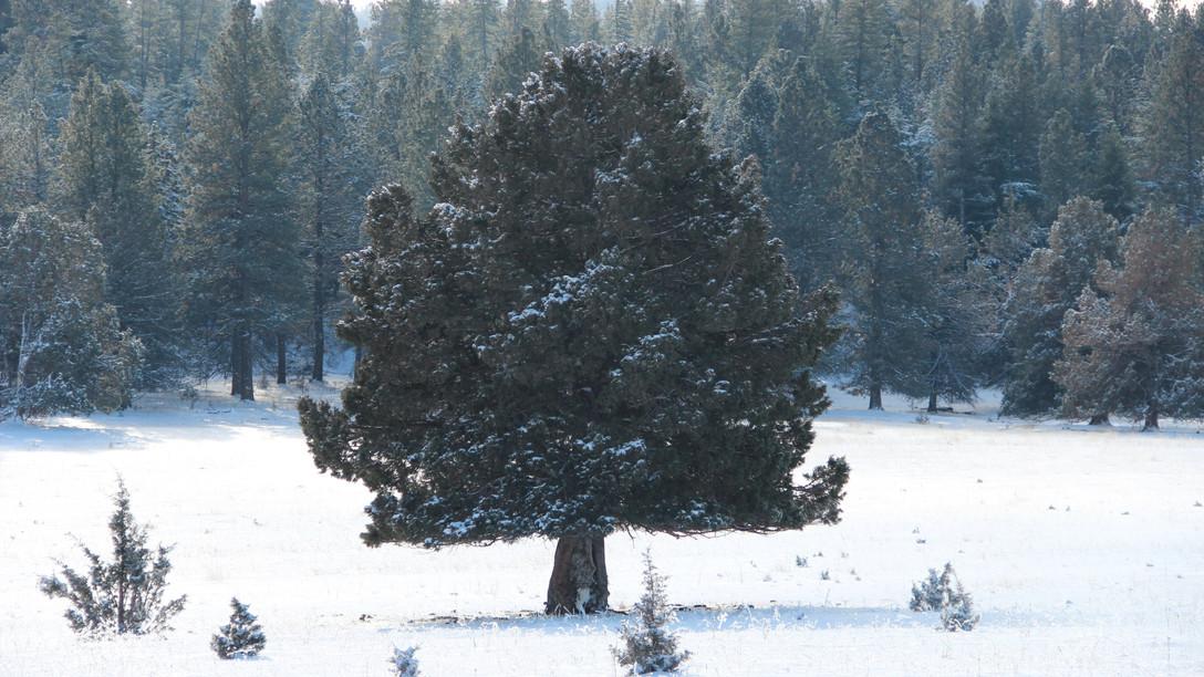 Lone Tree in Lonerock