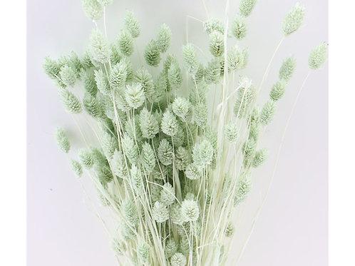 Droogbloemen - Phalaris mint