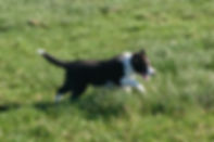 Kennel Mikami Border Collie Breeder Puppy