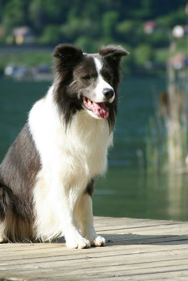 Immortal Blue Acko Of Green Borderline. Working & Show Border Collie