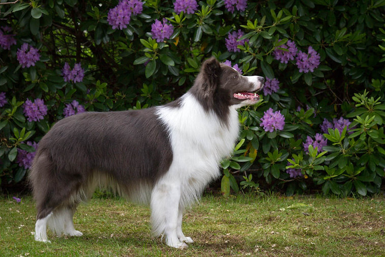Immortal Blue Acko Of Green Borderline. Working Sheep dog & Show Border Collie