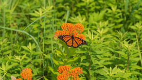 Milkweed and Monarchs