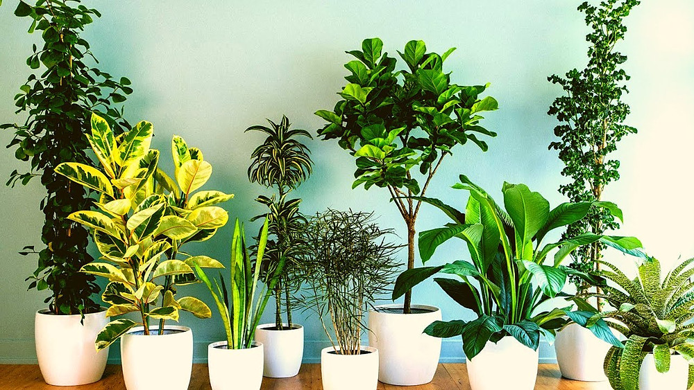 Various Dracaena Plants in White Pots
