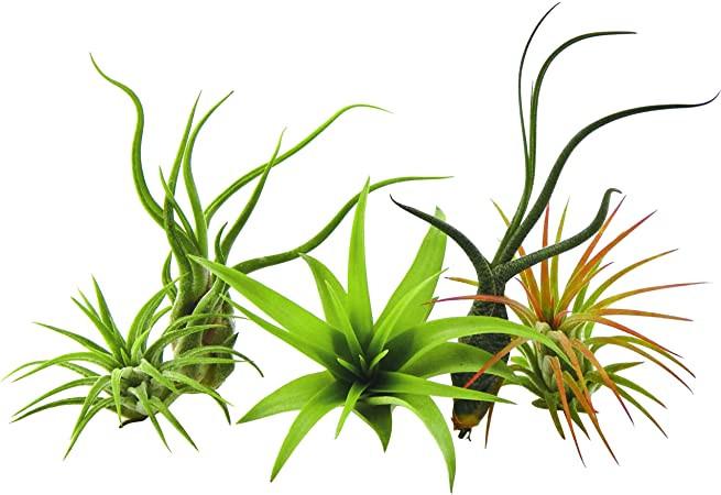 Air Plant Variety