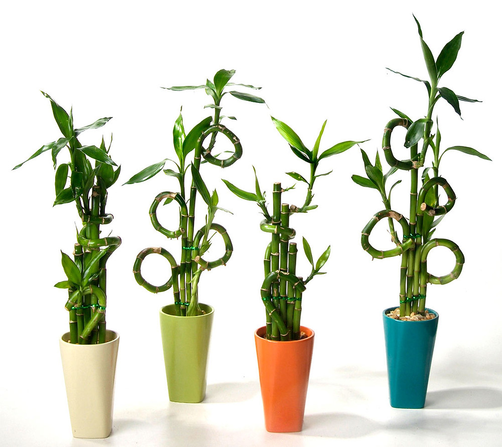 four Lucky Bamboo in colorful pots