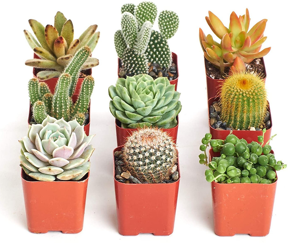 Various succulents and cacti
