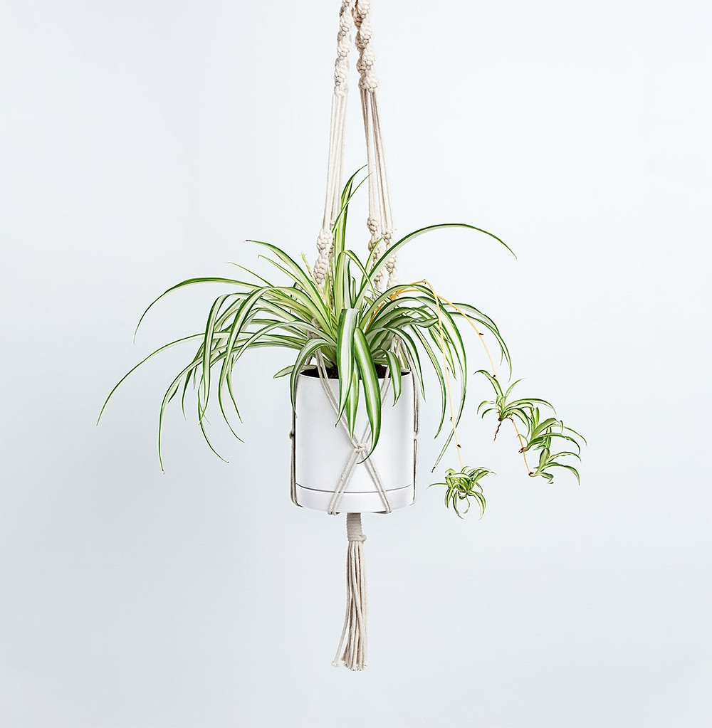 Spider Plant in White Planter with Hanging Macrame