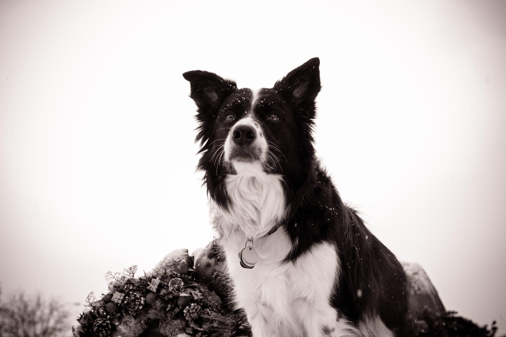 Chagnon Pups
