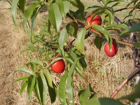 Nectarines-on-a-branch.jpg