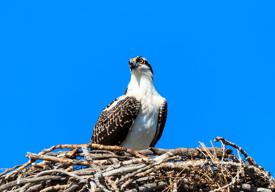 colonial beach osprey