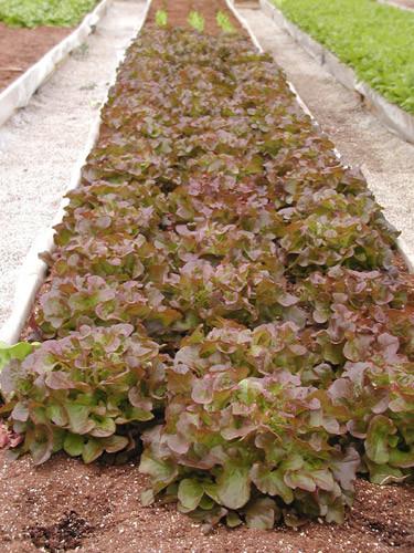 Lettuce-row.jpg