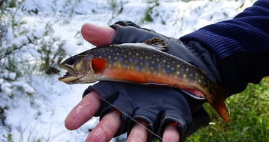 4 - Brook Trout, Grizzly Lake-Straight C