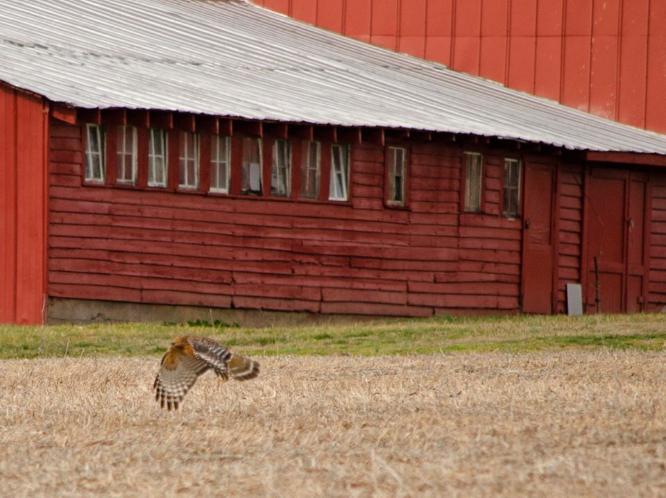 Red Barn & Hawk