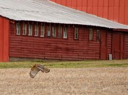Red Barn & Hawk