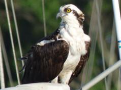 osprey 99 PS.jpg