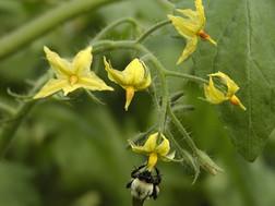 Bumblebee-depending.jpg