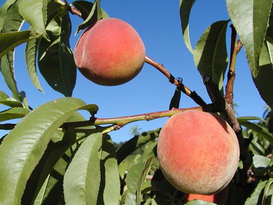 Peaches-2-Sentry.jpg